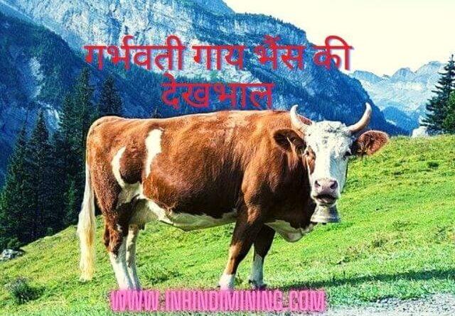 गर्भवती गाय भैंस की देखभाल