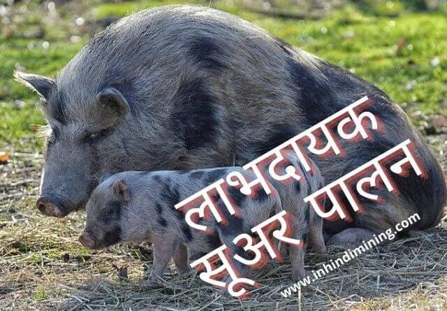लाभदायक सूअर पालन के लिये मुख्य बातें