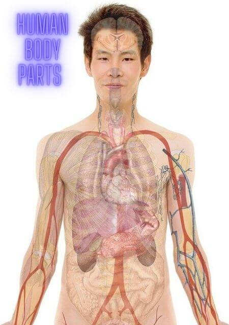 Human body Parts Name in Hindi and English with pictures
