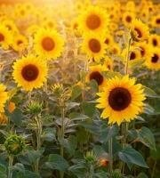 List of Flowers Name in Hindi and English, Flowers Name