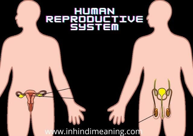 Best Human Reproductive System in Hindi,